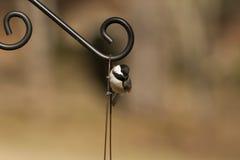 Chickadee recouvert par noir - atricapillus de Poecile Photographie stock libre de droits