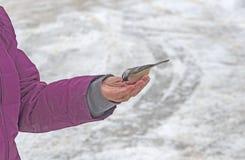 Chickadee ricoperto nero che mangia da una mano nell'inverno immagine stock libera da diritti
