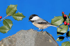 Chickadee on a Rock with Holly Royalty Free Stock Photography