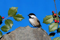 Chickadee on a Rock with Holly Royalty Free Stock Photo