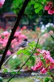 chickadee in rose garden stock photos