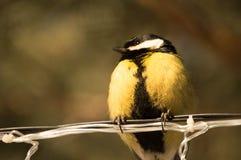Chickadee stock photography