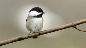 Chickadee Samotnie na Gałęziastym Małym ptaku obraz royalty free