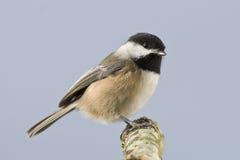 Chickadee sauvage d'oiseau petit Photo libre de droits