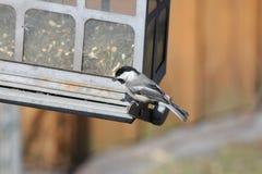 Chickadee, Schwarz-mit einer Kappe bedeckt Lizenzfreie Stockfotos