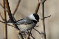 Chickadee se tenant sur une branche Photos libres de droits