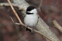 Chickadee se tenant sur une branche Images libres de droits