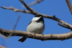 Chickadee se tenant sur une branche Image libre de droits