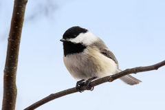 Chickadee with seed on branch Stock Photography