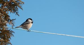 Chickadee singing. Royalty Free Stock Photography