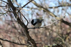Black Capped Chickadee. This is a chickadee sitting on a branch Royalty Free Stock Photography