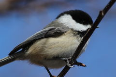 Black Capped Chickadee. This is a chickadee sitting on a branch Royalty Free Stock Photos