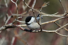 Black Capped Chickadee. This is a chickadee sitting on a branch Royalty Free Stock Images