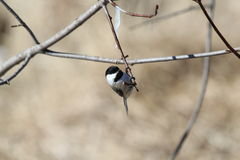 Black Capped Chickadee. This is a chickadee sitting on a branch Stock Image