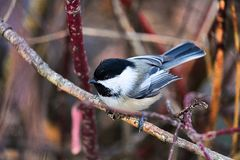 A chickadee sitting on a branch in winter royalty free stock photos