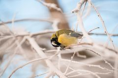 Tit sitting on a snowy tree on a frosty morning royalty free stock photography