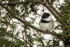 Chickadee. A chickadee sitting in a tree stock images