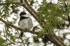Chickadee. A Chickadee sitting in a tree royalty free stock image