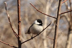 Black Capped Chickadee. This is a chickadee sitting on a tree branch Stock Photos