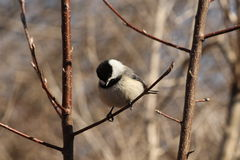 Black Capped Chickadee. This is a chickadee sitting on a tree branch Royalty Free Stock Images