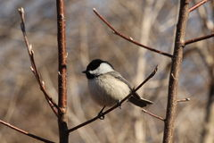 Black Capped Chickadee. This is a chickadee sitting on a tree branch Stock Image