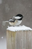 Chickadee in the snow Royalty Free Stock Photos