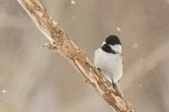 Chickadee in snow storm Royalty Free Stock Images