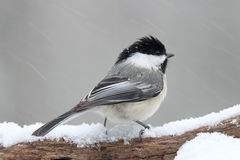 Chickadee in a Snowstorm. A black capped chickadee (Poecile atricapillus) perching on a branch in a winter snow storm Stock Photo