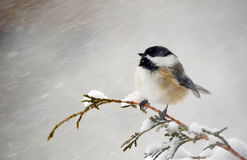 Chickadee in a snowstorm. Nice image of an adorable chickadee perched on a cedar branch in the winter during a snowstorm Royalty Free Stock Photography