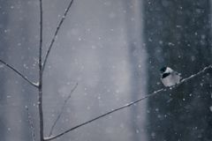 Chickadee in Snowstorm On Twig Lookgin down royalty free stock photos