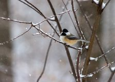 Chickadee in Snowstorm On Twig in woods stock image