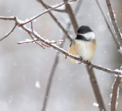 Chickadee in Snowstorm On Twig in woods stock photo