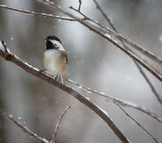 Chickadee in Snowstorm On Twig in woods snow falling royalty free stock image