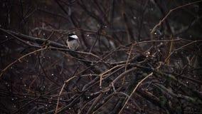 Chickadee solo Fotografia Stock