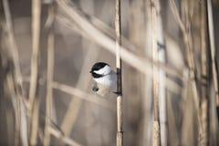 Chickadee som sätta sig på en cattail Fotografering för Bildbyråer