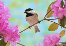 Chickadee At Spring Blossoms Stock Photos