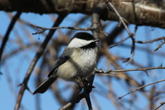 Black Capped Chickadee. This is a chickadee standing on a branch Royalty Free Stock Photos