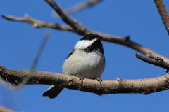Black Capped Chickadee. This is a chickadee standing on a branch looking ahead Royalty Free Stock Image