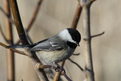 Black Capped Chickadee. This is a chickadee standing on a branch looking down Royalty Free Stock Photos