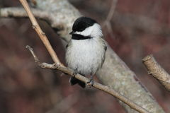Black Capped Chickadee. This is a chickadee standing on a branch looking towards their right Royalty Free Stock Images