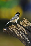 Chickadee on stump Stock Images