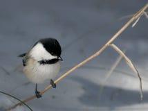 Chickadee su erba con spazio per testo fotografia stock libera da diritti