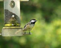 Chickadee su un alimentatore Fotografia Stock