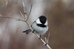 Chickadee su un ramo Fotografie Stock Libere da Diritti