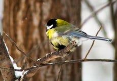 Chickadee sul ramo, parco di inverno fotografia stock libera da diritti