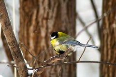 Chickadee sul ramo, parco di inverno immagini stock