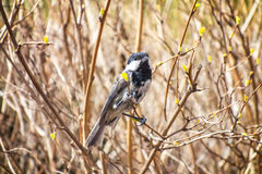 Chickadee Sunny Springtime Royalty Free Stock Images