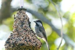 Chickadee sur le câble d'alimentation d'oiseau Photo libre de droits
