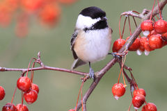 Chickadee sur un branchement Photo libre de droits