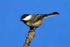 Chickadee sur un branchement Images stock